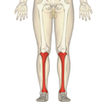 Tibia - frontal view.png