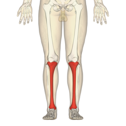 Tibia - frontal view