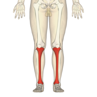 Tibia larger of the two bones of the leg below the knee for vertebrates