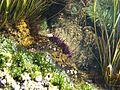 Tide pools - sea urchin (32841969816).jpg