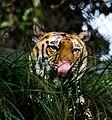 Tiger at Padmaja Naidu Himalayan Zoological Park 03.jpg