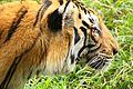 Tiger in Rajiv Gandhi Zoological Park Pune.jpg