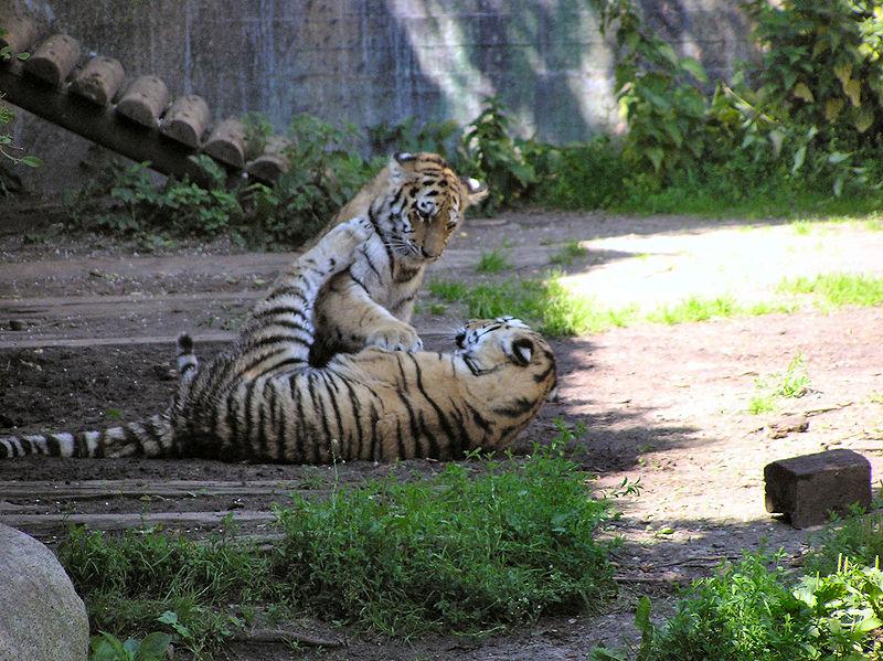 File:Tigerunger-Aalborg Zoo.JPG