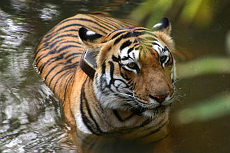 Tracking collar - Tigress with radio collar in Tadoba Andhari National Park, India