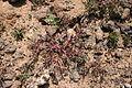 Tinajo El Cuchillo - Lugar de Cuchillo (Caldera) - Mesembryanthemum nodiflorum 01 ies.jpg