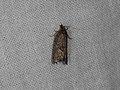 Tortricidae sp. (37836550401).jpg