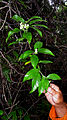 Tournefortia bicolor Sw. (15607076074).jpg