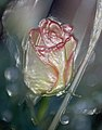 Transgenic Rose,BioArt project 2004.jpg