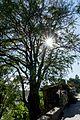 Tree - panoramio (75).jpg