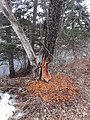 Tree chewed by beavers VT Rte 114 East Haven, Vermont April 2018.jpg