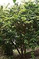 Tree of Baccaurea motleyana (Phyllanthaceae).JPG