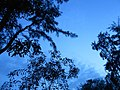 Tree silhouettes in twilight.JPG
