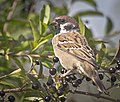 Tree sparrow (50352248102).jpg