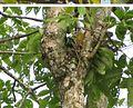Treron phoenicoptera nesting 3.JPG