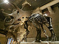 Triceratops prorsus - National Museum of Nature and Science.jpg