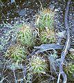 Trichocereus candicans.jpg