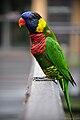 Trichoglossus haematodus -KL Bird Park.jpg