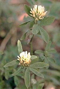 Trifolium alexandrinum eF