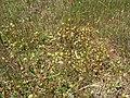 Trifolium campestre habit6 QNR (15455936683).jpg