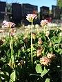 Trifolium fragiferum (subsp. fragiferum) sl44.jpg