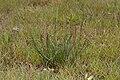 Triglochin maritima baie-authie 80 29042007 4.jpg