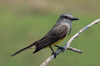Tropical kingbird Species of perching bird