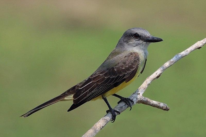 File:Tropical kingbird (Tyrannus melancholicus).JPG