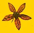 Tropidogyne pentaptera in amber.jpg