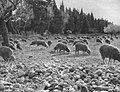 Troupeau de moutons dans la plaine de Crau.jpg