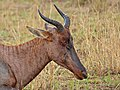 Tsessebe (Damaliscus lunatus lunatus) close-up (11684009833).jpg