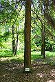Tsuga caroliniana trunk.JPG