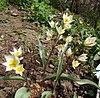 Tulipa turkestanica Y006.jpg