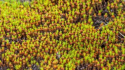 Tundra of Svalbard, freshly sprouting moss.jpg