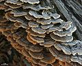 Turkey Tail - Flickr - pellaea (1).jpg