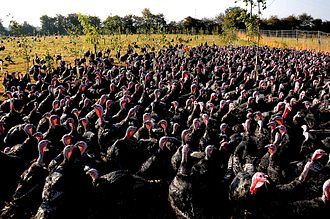 Poultry farming - Turkeys on pasture at an organic farm