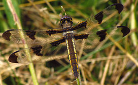 Twelve-spotted Skimmer, female.jpg