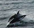 Two Dusky Dolphins.jpg