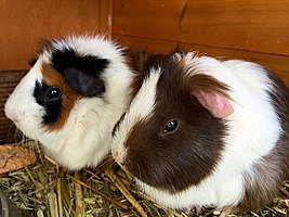 Two guinea pigs.jpg
