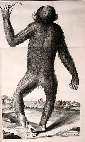 Orang-Outang, sive Homo Sylvestris - Drawing of a live, male pygmy