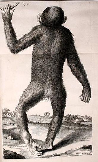 Orang-Outang, sive Homo Sylvestris - Drawing of a live, male pygmy