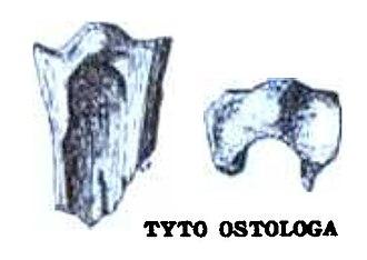 Tyto - Fossil of Tyto ostologa