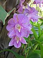 Unid orchid01a.JPG