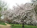 University Parks, Oxford, Spring 2006.jpg