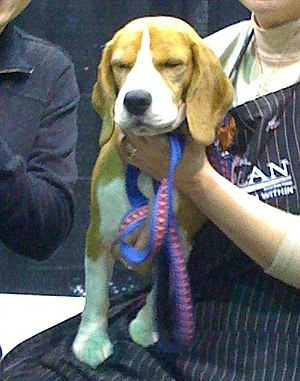 Meeting Uno the Westminster best in show 2008 ...