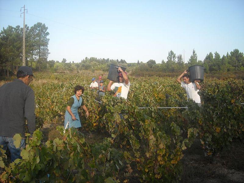 Ficheiro:Uns colhem as uvas, outros transportam-nas para o tractor...é ano de boa produção....jpg