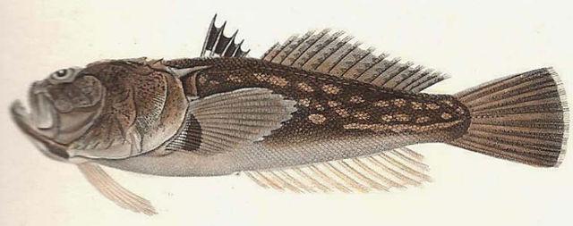 Uranoscopus scaber 1.jpg