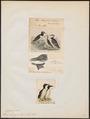 Uria rhingvia - 1700-1880 - Print - Iconographia Zoologica - Special Collections University of Amsterdam - UBA01 IZ17800309.tif
