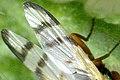 Urophora.stylata.wing.detail.jpg