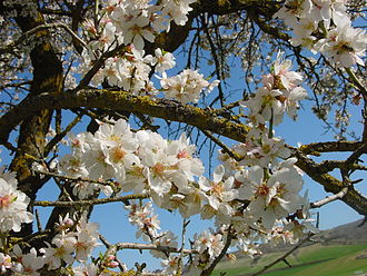 Tu BiShvat - Almond tree in blossom on Tu BiShvat