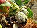 Ustilago maydis (Ustilaginaceae) - (gall), Arnhem, the Netherlands - 2.jpg